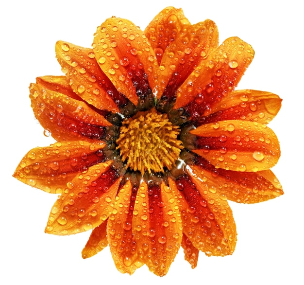 Única flor do tigre gazania com gotas. (gênero asteraceae de splendens) .isolado.