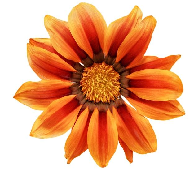 Única flor do tigre gazania. (gênero asteraceae de splendens) .isolado.