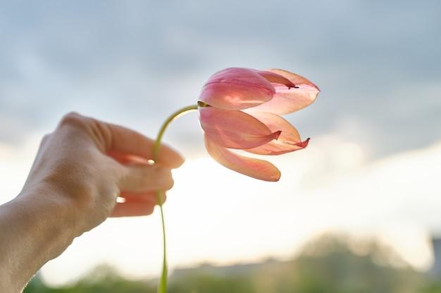 Única flor na mão feminina. tulipa linda