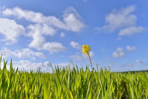 Única flores de colza em um campo de trigo