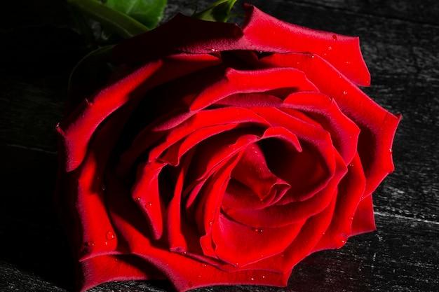 Única grande e linda rosa vermelha com gotas de chuva em um fundo preto