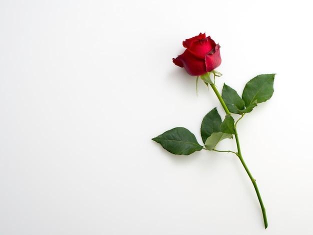 Única linda rosa vermelha em branco