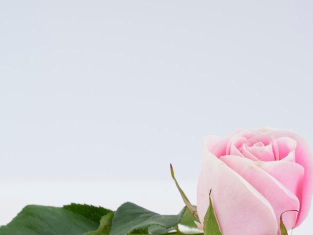 Única rosa cor de rosa em fundo branco.