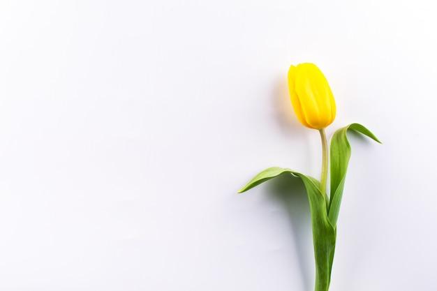 Única tulipa amarela isolada no fundo branco. apartamento leigos com espaço para texto