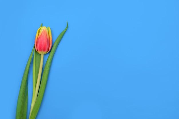 Única tulipa no espaço da cópia de fundo azul. flor bonita