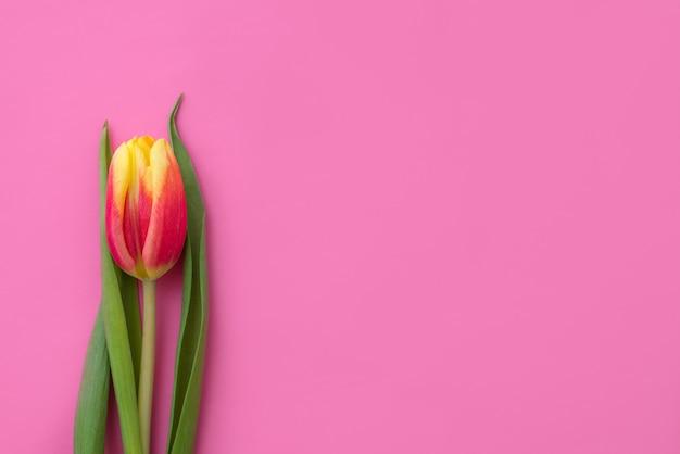 Única tulipa rosa fundo cópia espaço bela flor