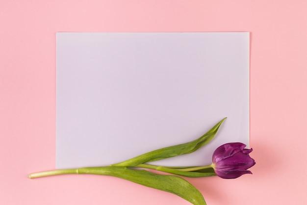 Única tulipa roxa no papel branco em branco contra um fundo rosa