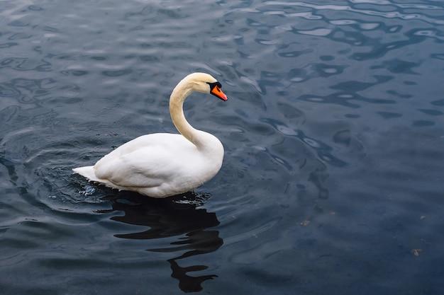 Único cisne na lagoa.