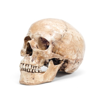 Único crânio humano isolado no fundo branco