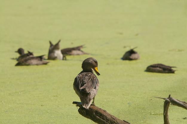 Único pato empoleirado em um pedaço de madeira e um grupo de patos no fundo desfocado
