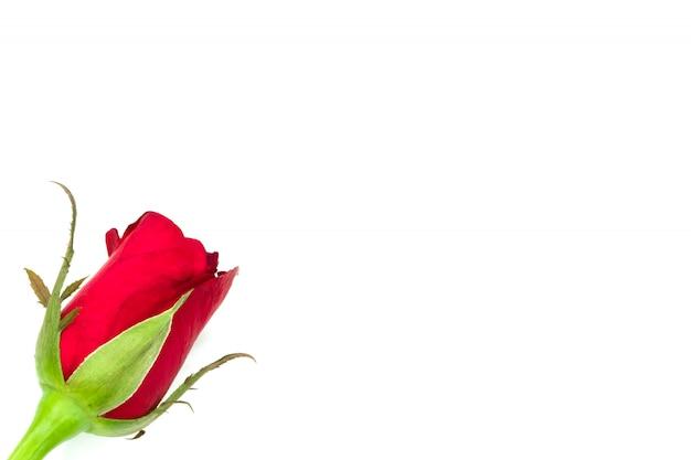 Único rosa no fundo branco