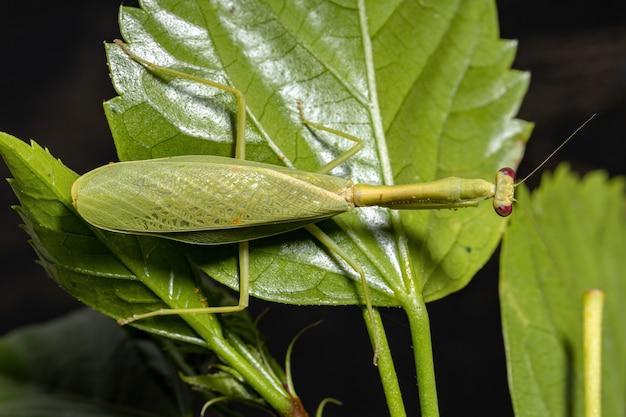 Unicórnio fêmea adulto da espécie parastagmatoptera unipunctata em uma planta de hibisco com foco seletivo
