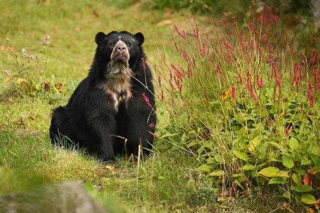 Urso andino muito raro e tímido em habitat natural