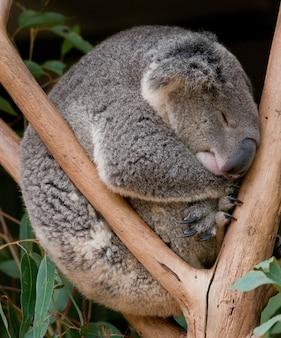Urso coala dormindo na árvore. nova gales do sul, austrália.