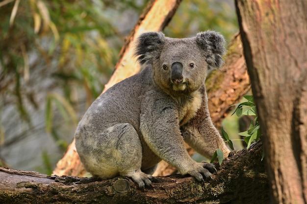 Urso coala em uma árvore
