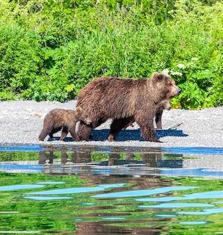 Urso com dois filhotes