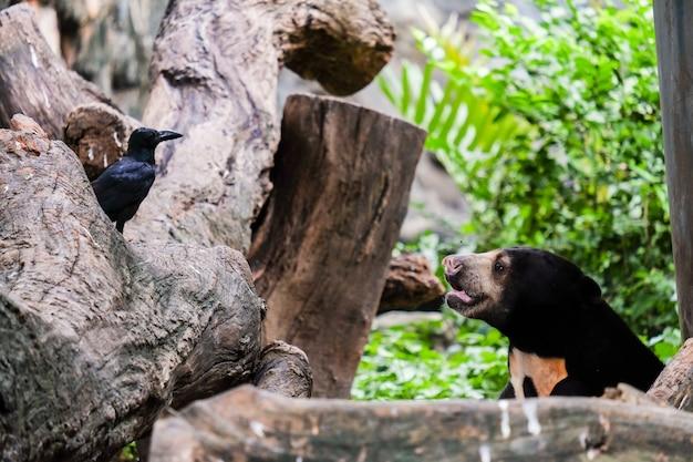 Urso de búfalo, olhando os olhos com o corvo para animal fundo ou textura