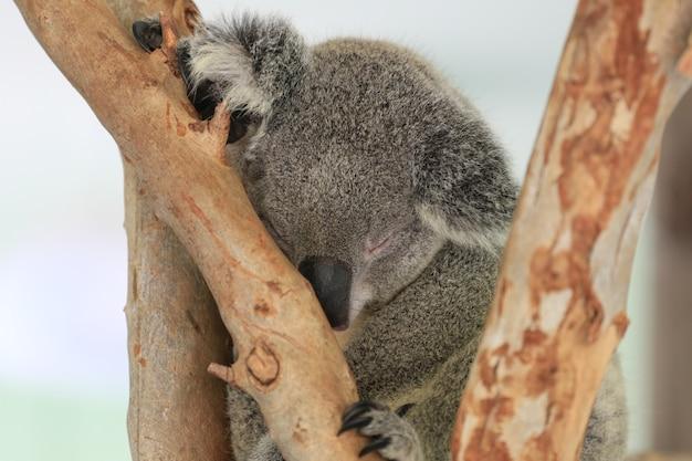 Urso de koala que dorme na árvore.