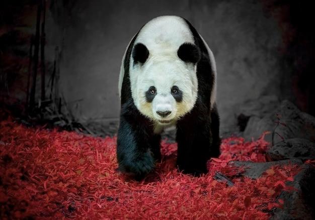 Urso de panda que está no jardim zoológico.
