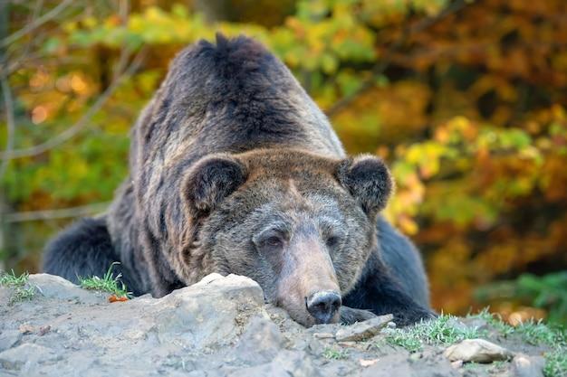 Urso grande (ursus arctos) na floresta de outono