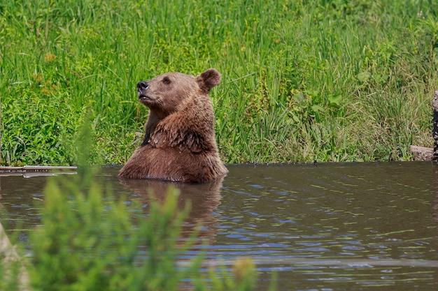 Urso marrom, com, paisagem floresta