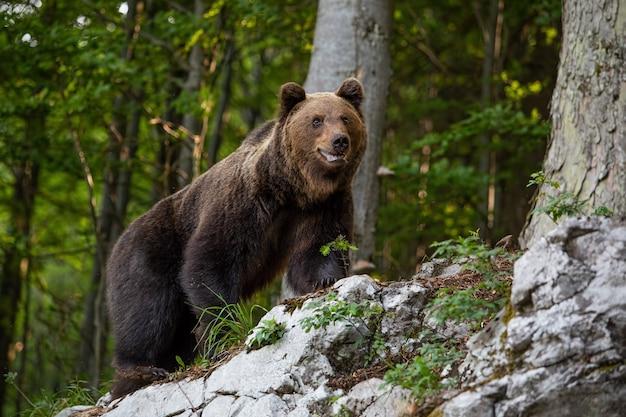 Urso marrom dominante, arctos do ursus que estão em uma rocha na floresta.