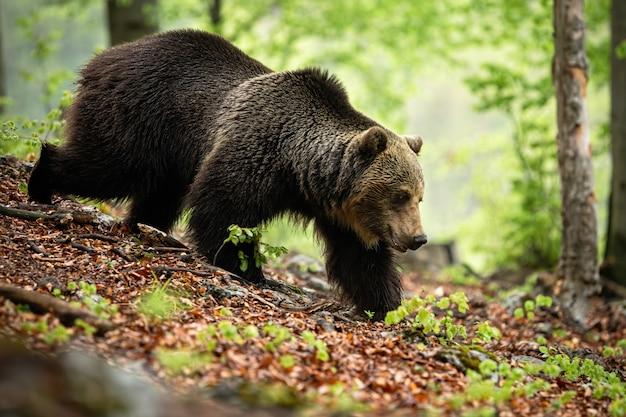 Urso marrom forte que anda na floresta na natureza do verão, eslováquia, europa.