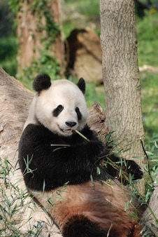 Urso panda encostado em uma árvore e comendo brotos de bambu.