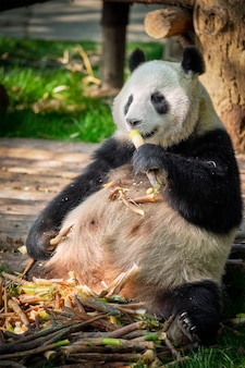 Urso panda gigante na china