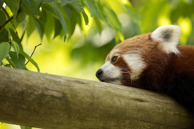 Urso panda vermelho descansando em um tronco, parecendo deprimido e cansado. floresta verde ao fundo.