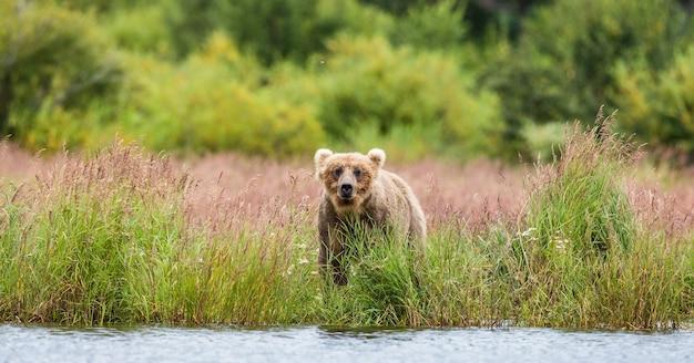 Urso-pardo caminhando ao longo da margem do lago