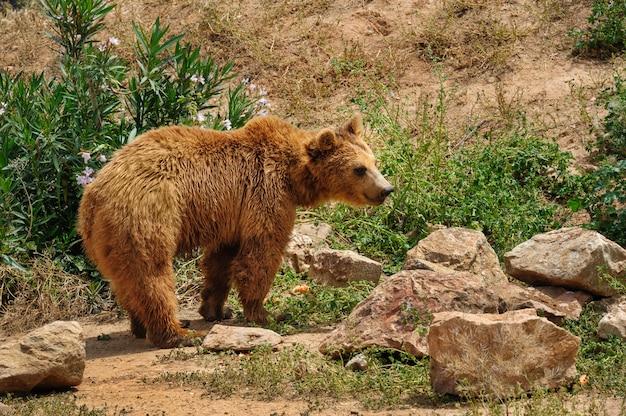 Urso pardo caminhando