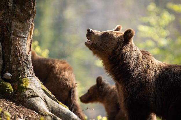 Urso pardo com a boca aberta, cuidando de seus dois filhotes