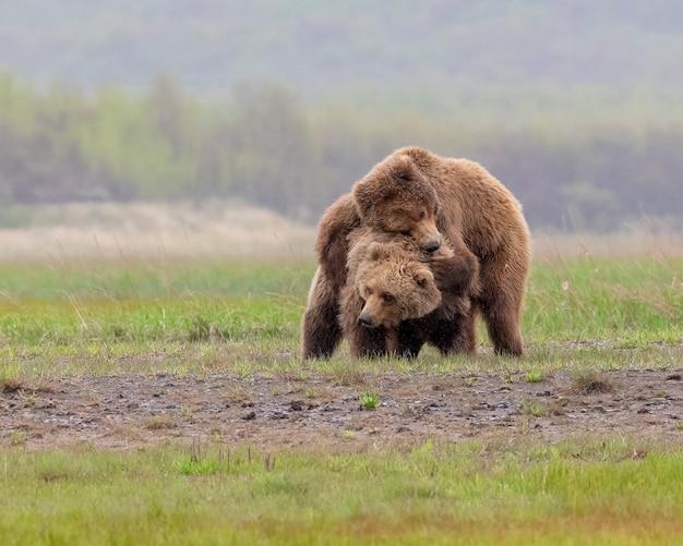 Urso-pardo da península do alasca ou urso-pardo costeiro brincando