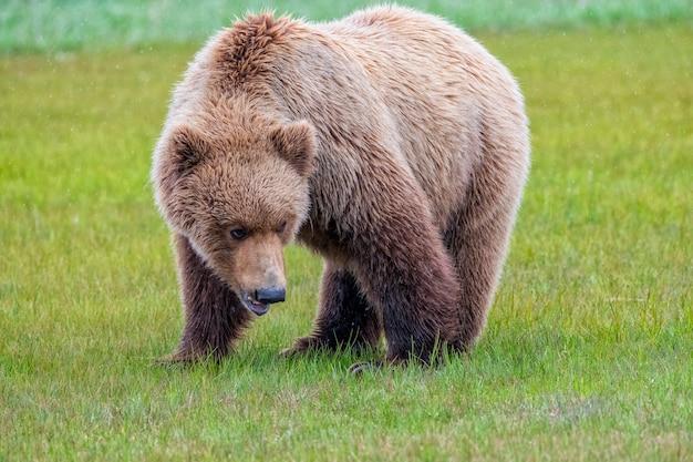 Urso-pardo da península do alasca ou urso-pardo costeiro na chuva