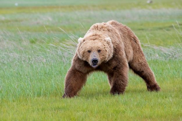 Urso-pardo da península do alasca ou urso-pardo costeiro