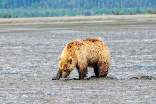 Urso-pardo do alasca em chinitna bay cavando mariscos em planícies lamacentas