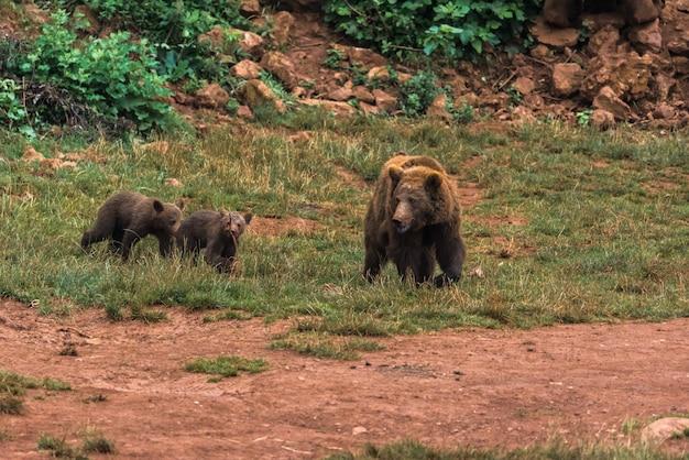 Urso-pardo e seus filhotes em uma reserva natural