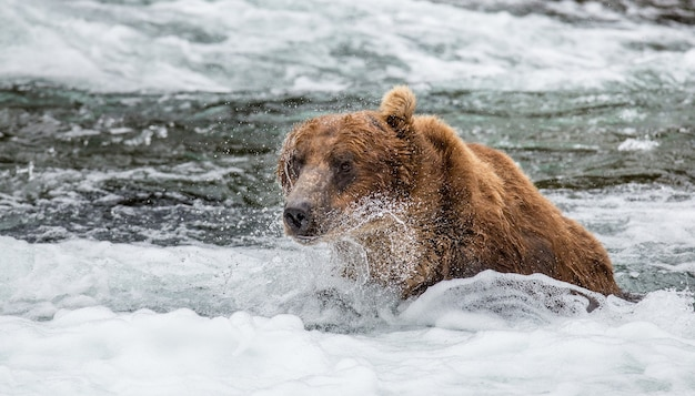 Urso-pardo está nadando no lago do parque nacional de katmai, alasca, eua
