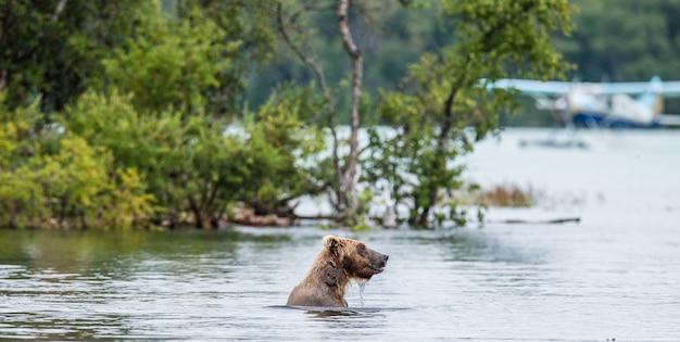 Urso-pardo está nadando no lago