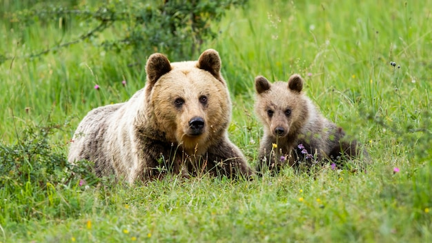 Urso pardo feminino, ursus arctos, deitado no chão com seu filhote na primavera de vista frontal. conceito de amar a família animal. adorável jovem mamífero com sua mãe na natureza
