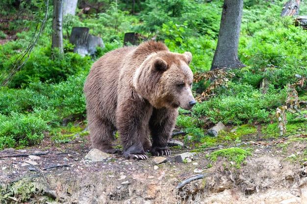 Urso-pardo (latim ursus arctos) na floresta em um fundo de vida selvagem.