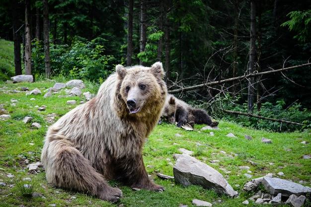 Urso pardo mãe e filhote