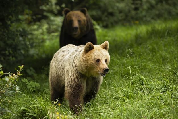 Urso pardo masculino após fêmea na época de cio no prado verde