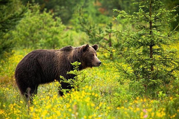 Urso-pardo masculino perigoso observando seu território em um prado florescendo