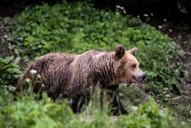 Urso pardo na borda da floresta.