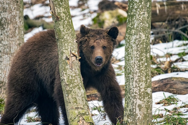 Urso-pardo na floresta de inverno