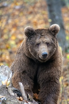 Urso pardo na floresta