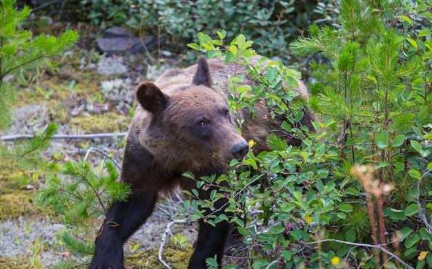 Urso-pardo na temporada de verão