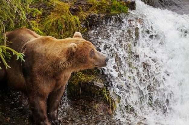 Urso pardo no alasca